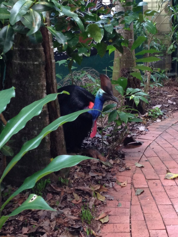 The cassowary!!