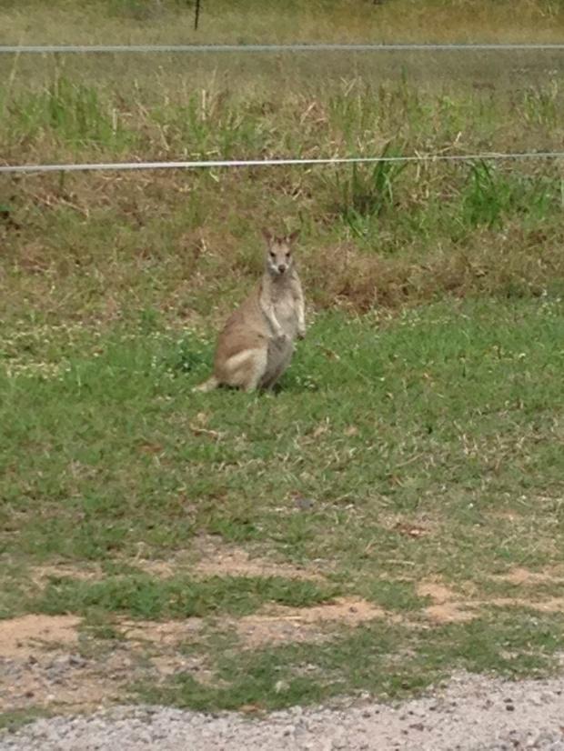 Wild kangaroo!